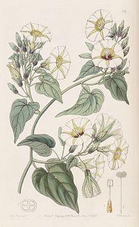 Merremia umbellata (Ipomoea cymosa) Bot. Reg. 29. 24. 1843