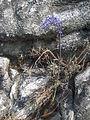Merwilla lazulina - Chimanimani 2 (22550399592).jpg