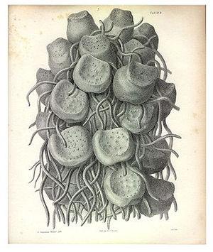 Franz Meyen - Plate to Ueber die neuesten Fortschritte der Anatomie und Physiologie der Gewächse (1834).