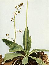 Micranthes pensylvanica WFNY-086.jpg