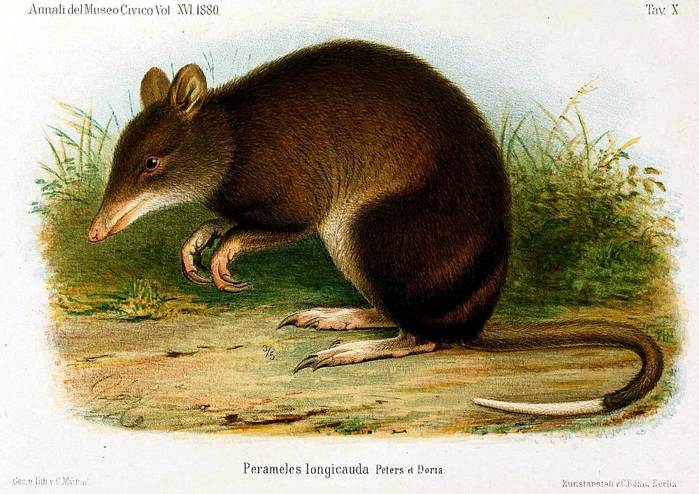 The average litter size of a Striped bandicoot is 1
