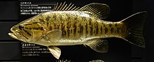 Micropterus dolomieu - National Museum of Nature and Science, Tokyo - DSC07146.JPG