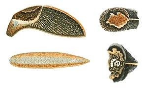 Milax caucasicus