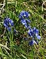 Milkwort, Morgan's Hill - geograph.org.uk - 1345963.jpg