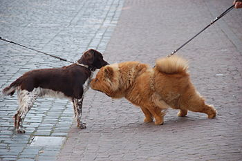 Two dogs smell each other on the street in Mil...