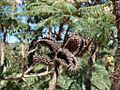 Mimosa claussenii (11211918923).jpg