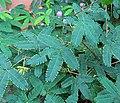 Mimosa pudica IMG 0236.jpg