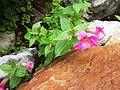 Mimulus lewisii (Lewis' monkeyflower) - Flickr - brewbooks (1).jpg