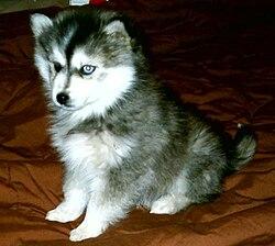Miniature Siberian Husky.jpg