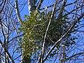 Mistletoe in White Poplar 3.jpg