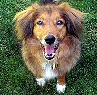 A healthy 13-year-old mixed-breed dog shows hybrid vigor.