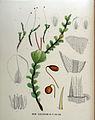 Mnium subglobosum — Flora Batava — Volume v18.jpg