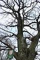 Mokrosuky, památný strom II.jpg