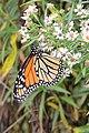 Monarch (Danaus plexippus) - Killarney, Ontario 02.jpg