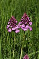 Mont Poupet, Orchis pyramidal - img 50485.jpg