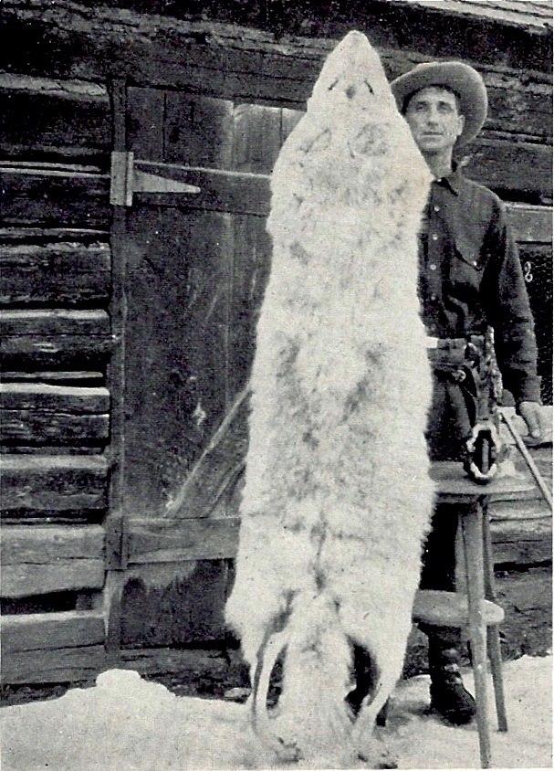 Montana wolf 100 lbs 1928 Young & Goldman USFWS