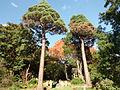 Morris Arboretum Sequoiadendron giganteum.JPG
