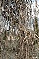 Morus alba Pendula Blumengärten Hirschstetten 2016-02-26 e.jpg