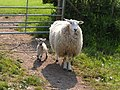 Mother and lamb - geograph.org.uk - 457575.jpg