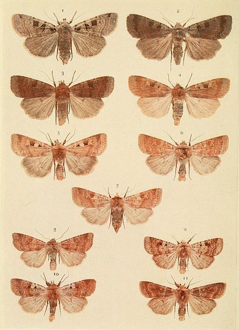 Moths of the British Isles Plate113.jpg