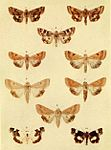Moths of the British Isles Series2 Plate019.jpg