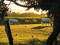 Moulin de la Brevette (perdrix et vaches) 1.jpg