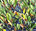 Mountain-Mahogany-leaves (4485533092).jpg