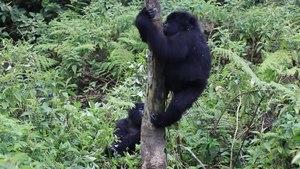 File:Mountain gorilla (Gorilla beringei beringei) climbing a tree.webm