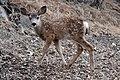 Mule Deer (Odocoileus hemionus) (12).jpg