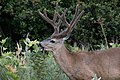 Mule deer feeding (Odocoileus hemionus).jpg