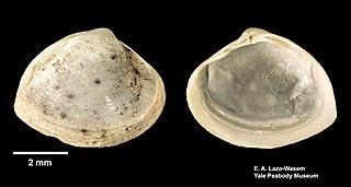 <i>Mulinia lateralis</i> Species of bivalve