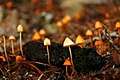 Mushrooms in Autumn by Fish Lake, Willamette National Forest (34503816470).jpg