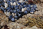 Mussels at the Asilomar State Beach.jpg