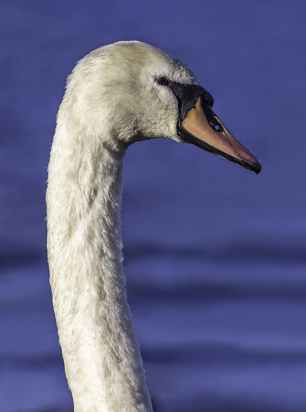 Mute swan (Cygnus olor) in Bowness-on-Windermere, England.jpg