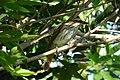 Myiodynastes maculatus (Atrapamoscas maculado) - Flickr - Alejandro Bayer (2).jpg