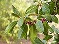 Myoporum laetum.jpg