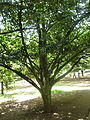 Myristica fragrans (muscadier) Jardin botanique de Peradeniya Kandy.JPG