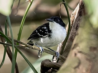 Black-and-white antbird - A male at Marchantaria island, Iranduba, Amazonas state, Brazil