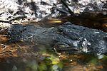 NASA Kennedy Wildlife - Alligator (6).jpg