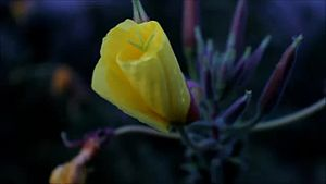 File:Nachtkerze (Oenothera glazioviana).webm
