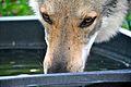 Nahaufnahme von Eska der Tschechoslowakische Wolfhund.jpg