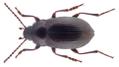 Nalassus laevioctostriatus (Goeze, 1777).png