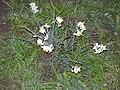 Narcissus4882.JPG