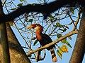 Narcondam Hornbill DSCN2147 17.jpg