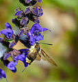 Narrow-bordered Bee Hawkmoth (Hemaris tityus) on Meadow Sage (Salvia pratensis) (13975823747).jpg