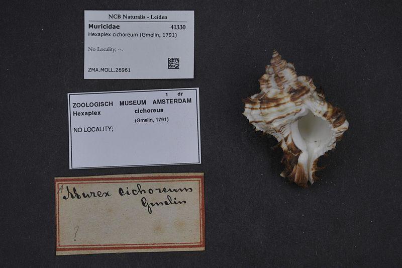 File:Naturalis Biodiversity Center - ZMA.MOLL.26961 - Hexaplex cichoreum (Gmelin, 1791) - Muricidae - Mollusc shell.jpeg