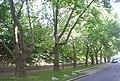 Naturdenkmal 819 2012-06-27 3563 Wien20 Durchlaufstrasse Baumreihe GuentherZ.jpg