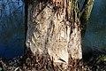 Naturschutzgebiet Haseder Busch - Biberverbiss (6).jpg