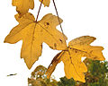 Naverlönn (Acer campestre) i Plantis 3381.jpg