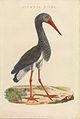 Nederlandsche vogelen (KB) - Ciconia nigra (458b).jpg